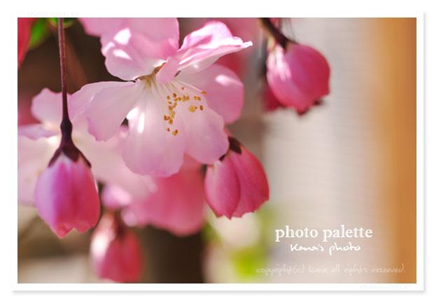 春が来た2011.jpg